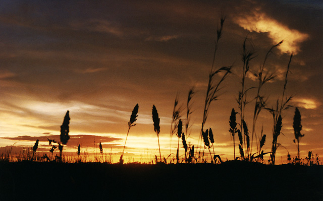 Sorghum Sunset
