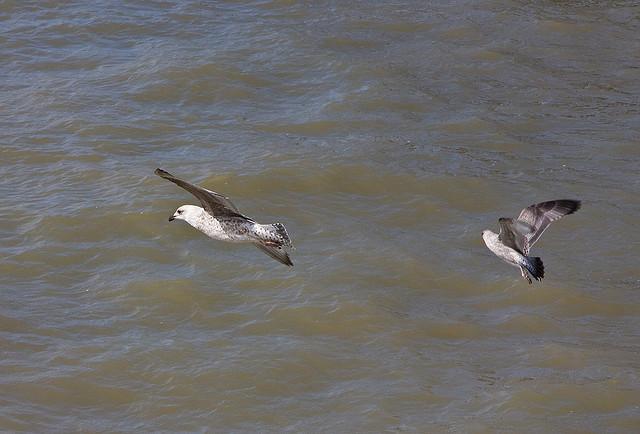 Shy Talks - Sorry, I mean Juvenile Herring Gulls