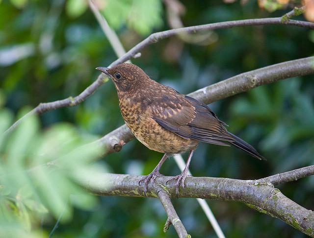 A tricky one for the Newbie Bird Watcher - A Juvenile Blackbird.