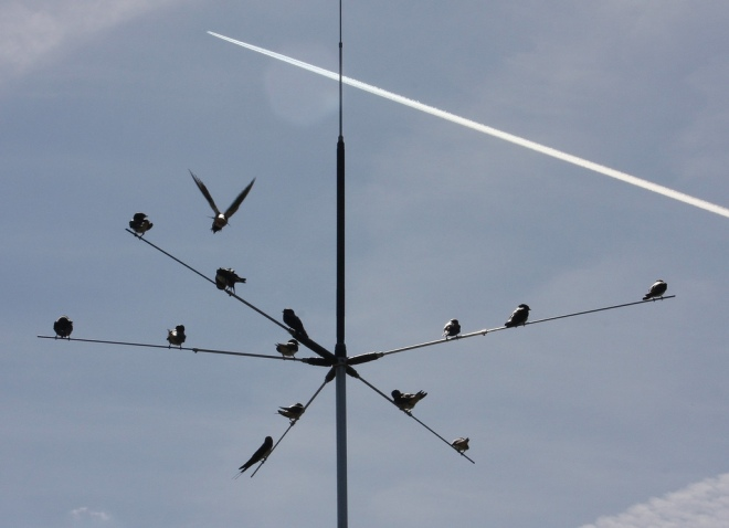 Swallows gather on a radio antenna in preparation for their journey south.