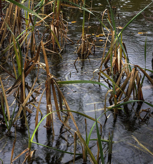 Reeds in the Rain