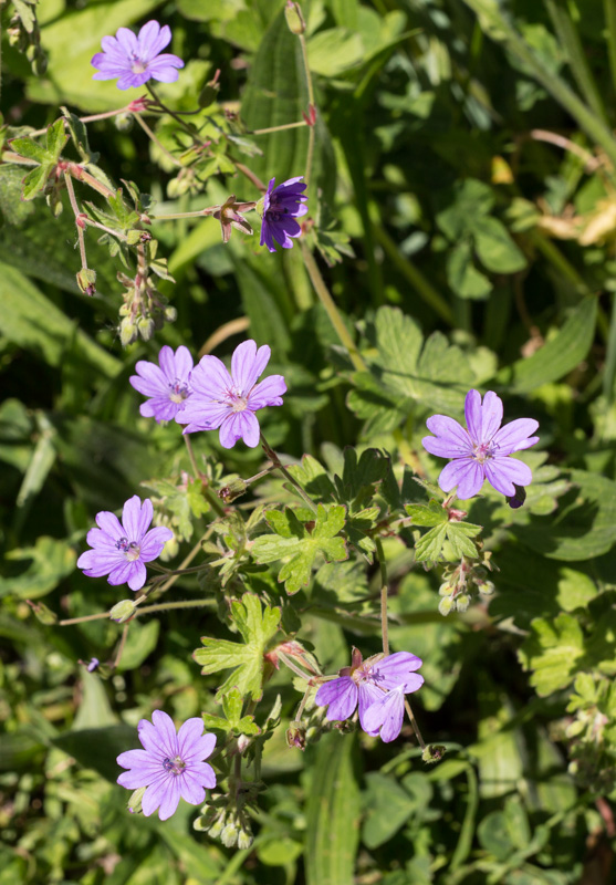 Hedgerow Cranesbill-2