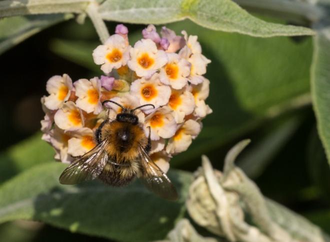 Common Carder Bee (Bombus pascuorum) on Weyer's Butterfly Bush (Buddleja × weyeriana)