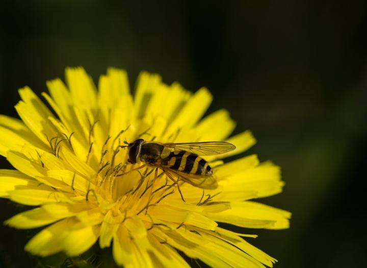 Hoverfly (Syrphus ribesii) on Beaked Hawks-Beard (Crepis vesicaria)