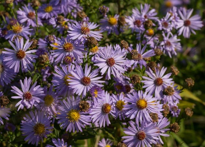 Michaelmas Daisy (Aster × salignus)
