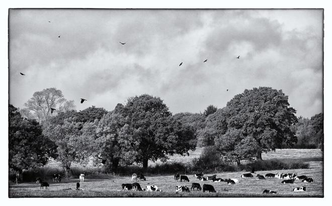 Cows & Crows