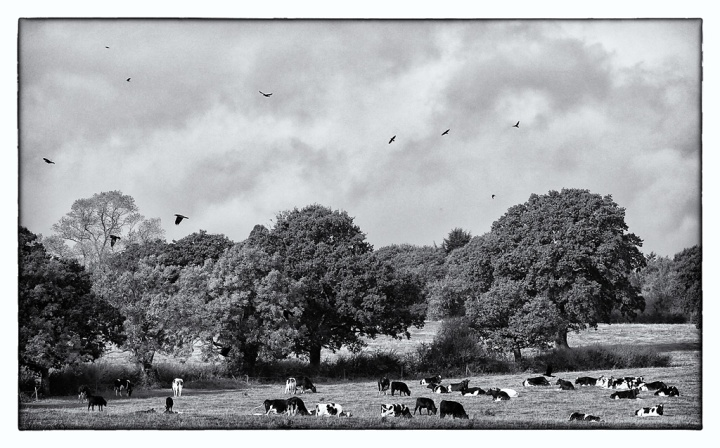 Cows & Crows